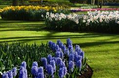 De tuin van de lente met hyacinten en gele narcissen Royalty-vrije Stock Afbeelding