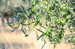 De tuin van de olijf Royalty-vrije Stock Foto's