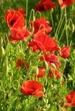 De Tuin van de Papaver van de zomer royalty-vrije stock afbeeldingen