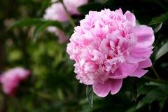 De Tuin van de pioen Royalty-vrije Stock Foto