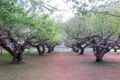 De tuin van de pruimtunnel Royalty-vrije Stock Foto
