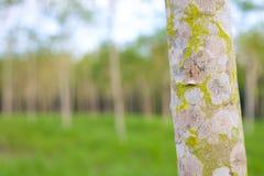 De tuin van de rubberboom Royalty-vrije Stock Foto's