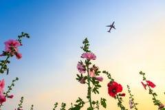 De tuin van de stokroosbloem met zonsonderganghemel en vliegtuig stock foto's