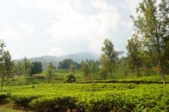 De tuin van de thee Stock Afbeeldingen