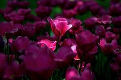 De tuin van de tulp stock afbeelding