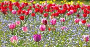 De tuin van de tulp in de lente stock footage