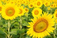 De tuin van de zonbloem Stock Afbeelding
