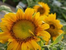 De Tuin van de zonnebloem Royalty-vrije Stock Afbeeldingen