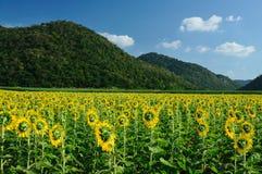 De tuin van de zonnebloem Stock Foto's