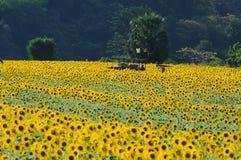 De tuin van de zonnebloem Stock Afbeeldingen