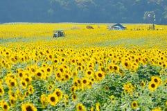 De tuin van de zonnebloem Royalty-vrije Stock Foto's