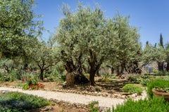 De Tuin van Gethsemane in Jeruzalem, Israël royalty-vrije stock afbeeldingen