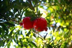 De tuin van granaatappel stock foto