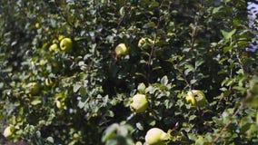 De tuin van de kweepeerboom stock videobeelden