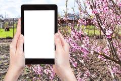 De tuin van landbouwersfoto's met perzikboom Stock Foto's