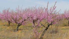 De tuin van de lente van fruitbomen stock videobeelden