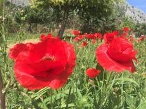 De tuin van de lentespanje van aardbloemen Stock Afbeelding