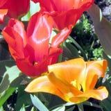 De tuin van Toronto de mooie tulpenbloem 2013 Stock Foto's