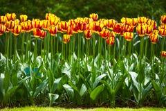 De tuin van tulpenbloemen in de lenteachtergrond of patroon Stock Afbeelding