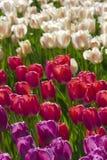 De tuin van tulpenbloemen in de lenteachtergrond of patroon Royalty-vrije Stock Foto's