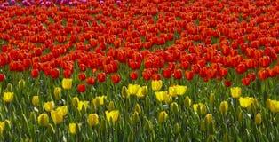 De tuin van tulpenbloemen in de lenteachtergrond of patroon Royalty-vrije Stock Afbeeldingen