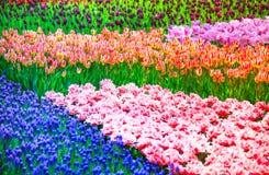 De tuinachtergrond of patroon van tulpenbloemen Stock Foto's