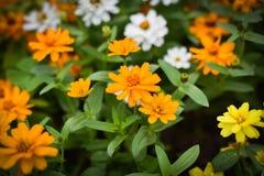 De tuinachtergrond van de bloembloei Stock Afbeelding