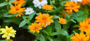 De tuinachtergrond van de bloembloei Royalty-vrije Stock Fotografie