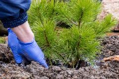 De tuinarbeider plant een jonge pijnboom Stock Afbeeldingen