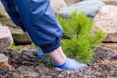 De tuinarbeider plant een jonge pijnboom Stock Foto's