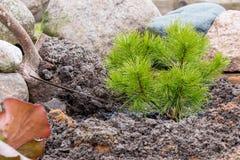 De tuinarbeider plant een jonge pijnboom met de hulp van spade Stock Foto