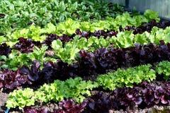 De tuinbed van de salade royalty-vrije stock afbeeldingen