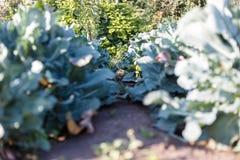 De tuinbroccoli Groeiende Groenten Groot gebied van broccoli stock foto's