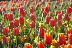 De Tuinen van Keukenhof Tulpen macrofoto Royalty-vrije Stock Foto's