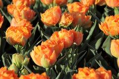 De Tuinen van Keukenhof Tulpen macrofoto Stock Afbeelding