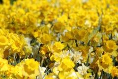 De Tuinen van Keukenhof Tulpen macrofoto Royalty-vrije Stock Afbeelding