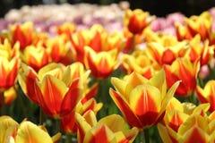 De Tuinen van Keukenhof Tulpen macrofoto Stock Foto's