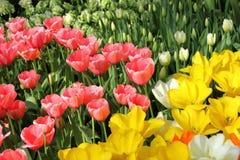 De Tuinen van Keukenhof Tulpen macrofoto Stock Afbeeldingen