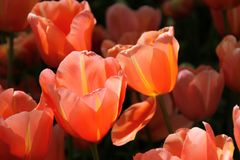 De Tuinen van Keukenhof Tulpen macrofoto Stock Fotografie