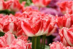De Tuinen van Keukenhof Tulpen macrofoto Royalty-vrije Stock Fotografie