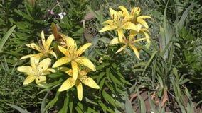 De tuinlelie geel in flecked stock videobeelden