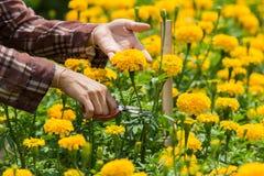 De tuinlieden oogsten goudsbloemen Stock Foto's