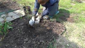 De tuinman bedekt grond rond roze struik met pijnboomnaalden in met mulch de lentetijd stock video