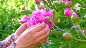 De tuinman dient de tuinzorg achter het kweken van roze pioenen in stock video