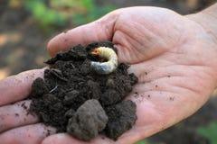 De tuinman houdt larve van junikeverkever in zijn hand Royalty-vrije Stock Afbeeldingen