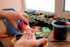 De tuinman houdt sachet met zaden van peper in zijn hand voor het zaaien in containers close-up Stock Afbeeldingen