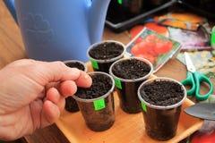 De tuinman houdt zaad van peper in zijn hand voor het zaaien in containers close-up Royalty-vrije Stock Fotografie