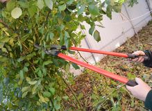 De tuinman met tuinhulpmiddelen het snoeien nam toe Prune Climbing Roses Hoe te Prune Roses Bush Royalty-vrije Stock Fotografie