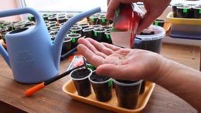 De tuinman neemt zaden van peper van sachet voor het zaaien in containers stock videobeelden