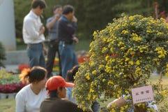 De tuinman rest-chrysant toont Royalty-vrije Stock Afbeeldingen